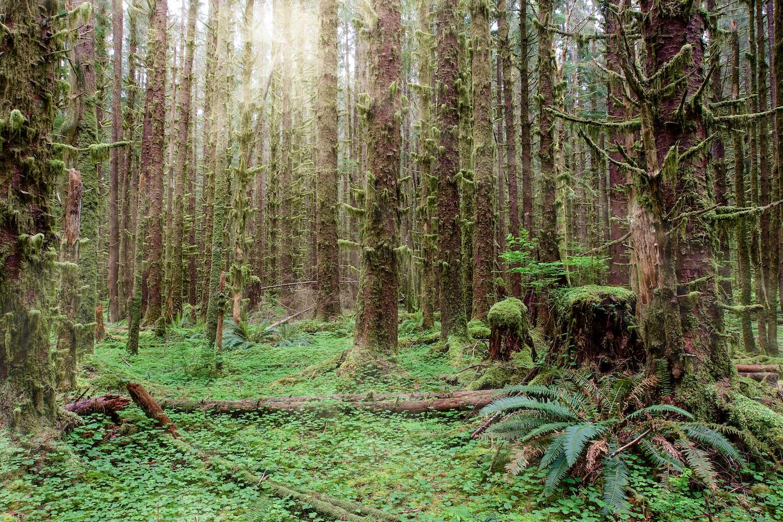 hoh rainforest loop